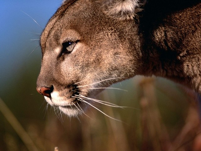 last-mountain-lion