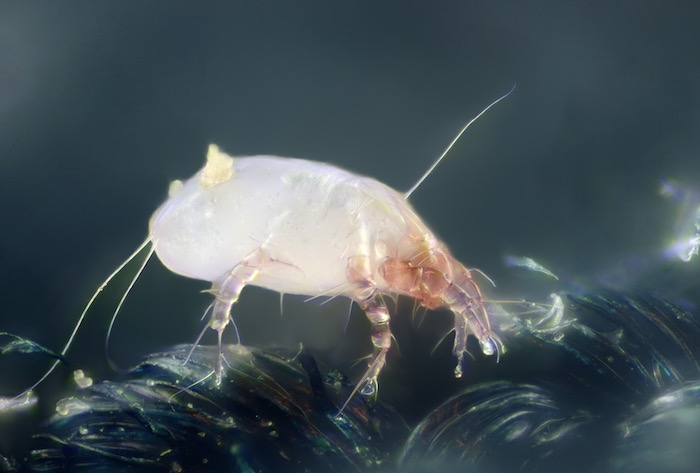 Micrograph of a dust mite (image credit: Wikimedia)